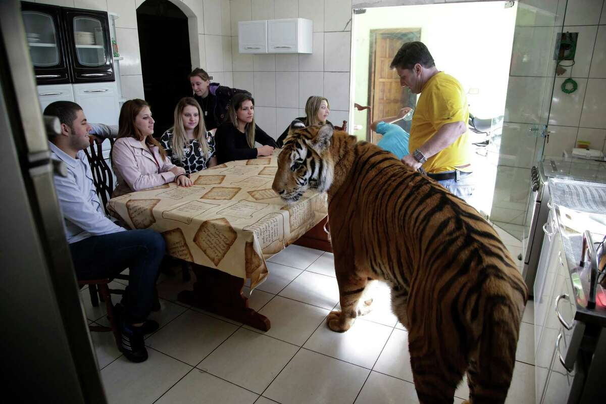 Wevellyn Antunes Rocha, from left to right, Maria Deusaunira Borges, Uyara Borges, Nayara Borges (back), Daniella Klipe, Gisele Candido, and Ary Borges gather at the breakfast table with tiger Tom, in Maringa, Brazil, Friday, Sept. 27, 2013.