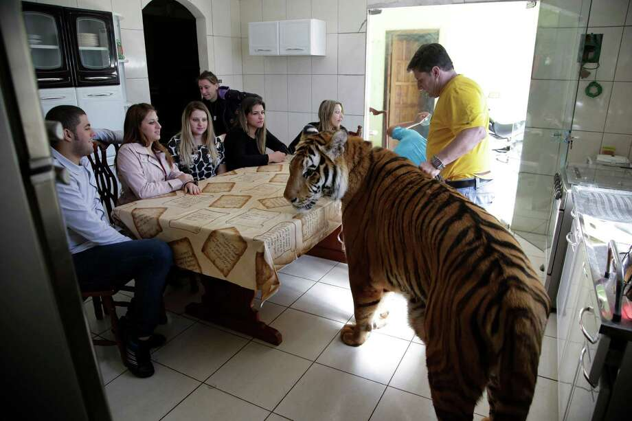 Wevellyn Antunes Rocha, from left to right, Maria Deusaunira Borges, Uyara Borges, Nayara Borges (back), Daniella Klipe, Gisele Candido, and Ary Borges gather at the breakfast table with tiger Tom, in Maringa, Brazil, Friday, Sept. 27, 2013. Photo: Renata Brito, Associated Press / AP