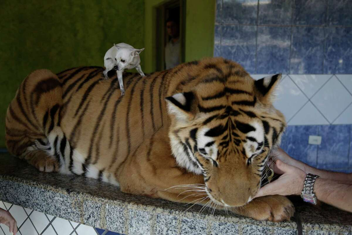 The Borges' family pet dog, Little, is placed on the back of Tom, their tiger, for a photo to be taken at the Borges' home in Maringa, Brazil, Friday, Sept. 27, 2013.