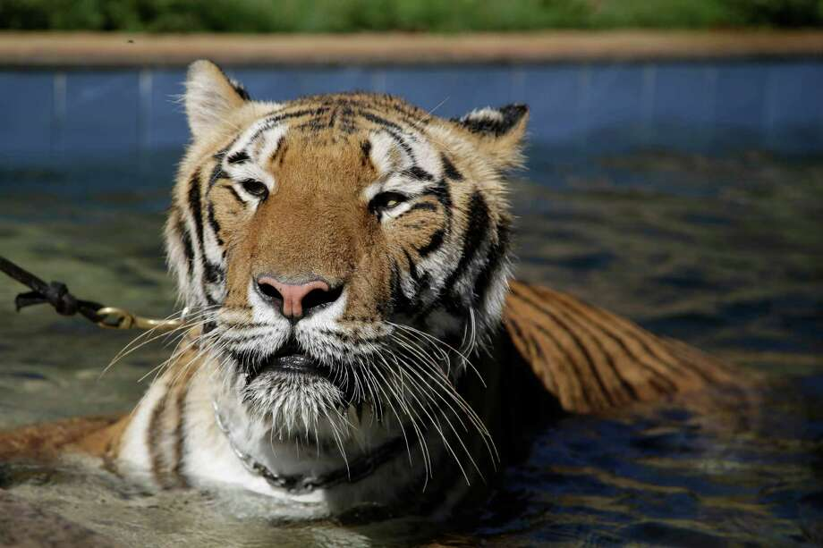 A tiger named Tom swims in the backyard of his caretaker Ary Borges in Maringa, Brazil, Thursday, Sept. 26, 2013. Photo: Renata Brito, Associated Press / AP