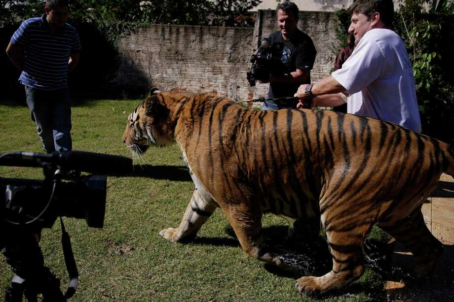 Ary Borges, right, holds the leash of his tiger named Tom as he is filmed by a local Tv channel in his backyard in Maringa, Brazil, Thursday, Sept. 26, 2013. Photo: Renata Brito, Associated Press / AP