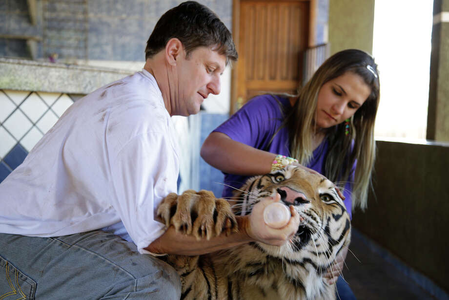 Ary Borges, left, and his girlfriend Daniella Klipe, bottle feed their two-year-old tiger named Dan in Maringa, Brazil, Thursday, Sept. 26, 2013. Photo: Renata Brito, Associated Press / AP