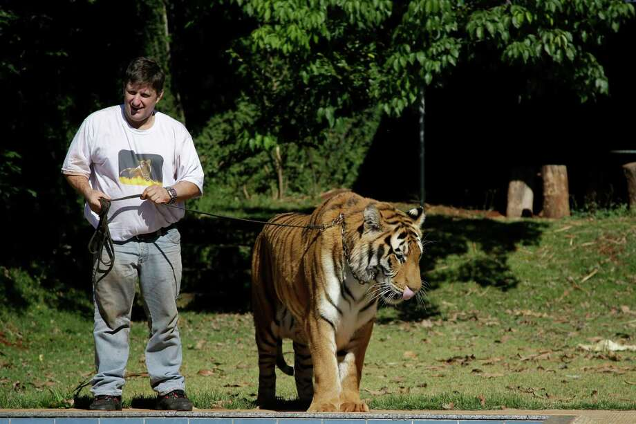 Ary Borges stands with his tiger Tom on a leash in his backyard in Maringa, Brazil, Thursday, Sept. 26, 2013. Photo: Renata Brito, Associated Press / AP