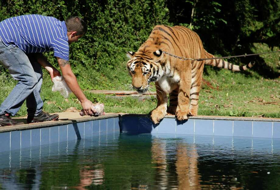 A tiger handler holds out a piece of meat for a tiger named Tom over a swimming pool in the backyard Tom's caretaker Ary Borges in Maringa, Brazil, Thursday, Sept. 26, 2013. Photo: Renata Brito, Associated Press / AP