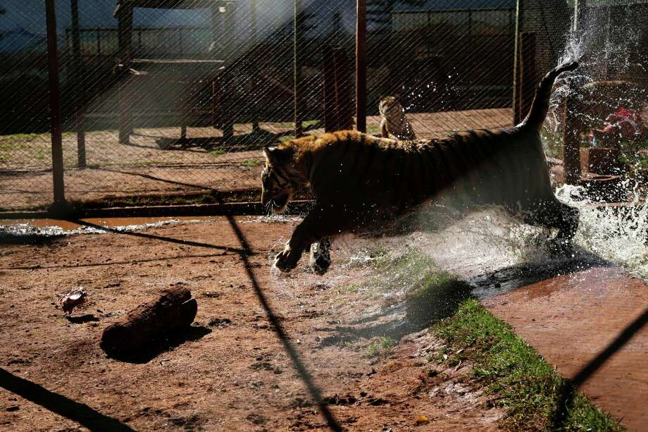 A tiger leaps out of a pool inside a cage in the backyard of its caretaker Ary Borges in Maringa, Brazil, Thursday, Sept. 26, 2013. Ibama, Brazil's environmental protection agency that also oversees wildlife, is working through courts to force Borges to have the male tigers undergo vasectomies so they cannot reproduce, confiscate his caretaker license and obtain the cats. Borges appealed and the matter is pending before a federal court. Photo: Renata Brito, Associated Press / AP