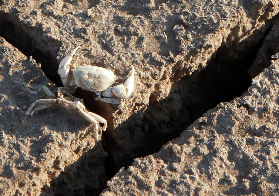 The remains of a freshwater crab are seen on the cracked, dry bed of Lake E.V. Spence in Robert Lee. Photo: Tony Gutierrez, STF / AP