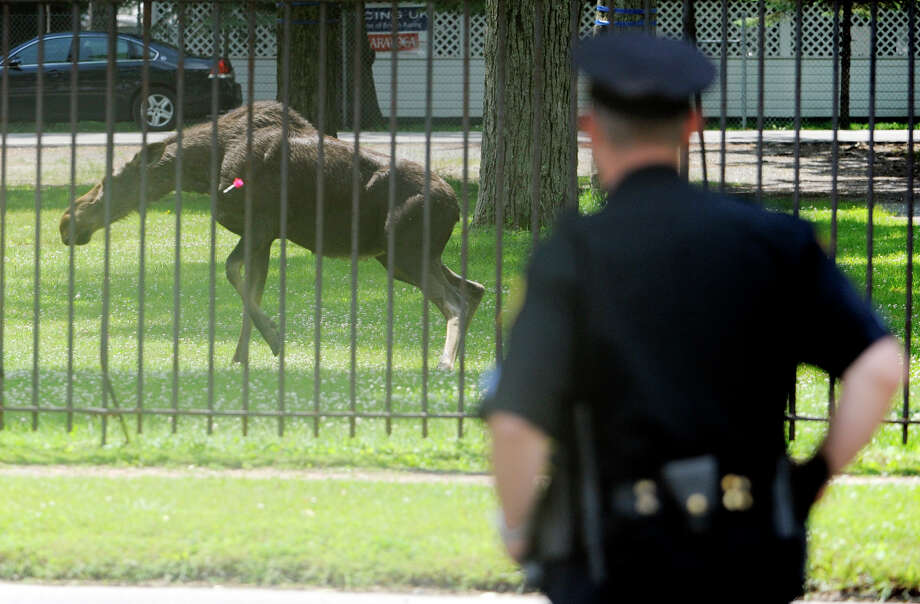 A Saratoga Police officer watches a female moose after being sedated by an ENCON team on the grounds of the Saratoga Race Course in Saratoga Springs, New York June 15, 2009. She made a trip down Broadway in Saratoga Springs at approximately 4a.m. this morning then took a leisurely trip across town to the track where she was let in the gate where they could keep closer tabs on her until an  ENCON team came to sedate her and transport her to the Adirondacks. Photo: SKIP DICKSTEIN, TIMES UNION