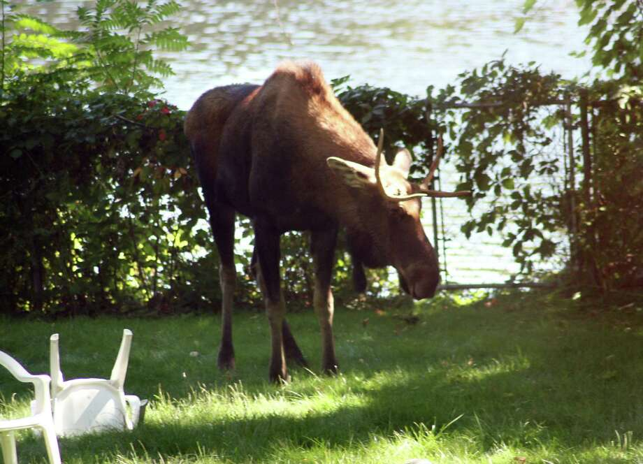 Photo Courtesy of Robert Newberry -- A young bull moose stands in a backyard along the Hudson River on Wednesday, Sept. 19, 2007, in Waterford, N.Y. (WITH HIGGINS TIMES UNION STORY) Photo: DG / ALBANY TIMES UNION