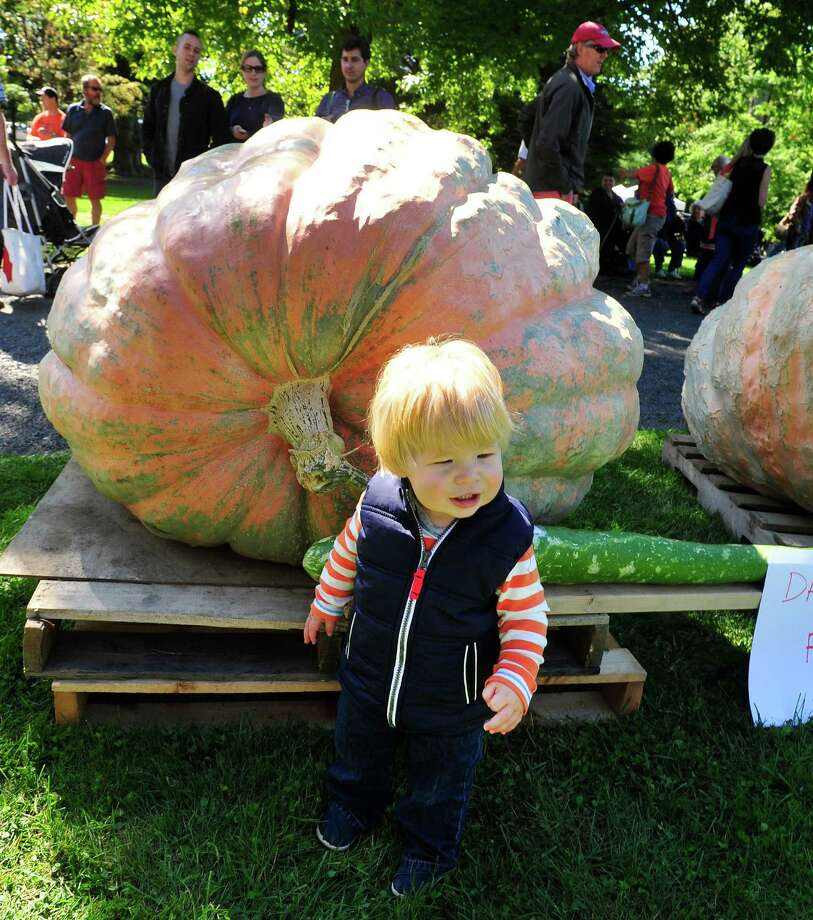 Sam Oleksiw, 18-months-old stands in the shadow of a giant pumpkin as the Connecticut Giant Pumpkin Growers Club holds their annual Giant Pumpkin and Squash Weighoff in Ridgefield, Conn. Sunday, Sept. 29, 2013. Photo: Michael Duffy / The News-Times