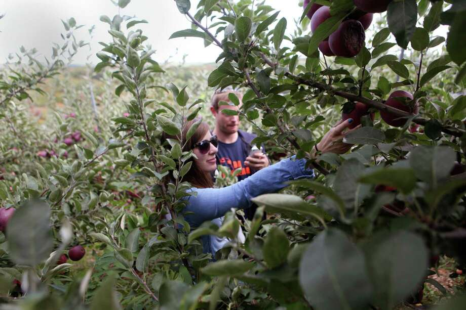 Ashley Tyrell, of NY, and Michael Sullivan, of South Norwalk, pick apples at Silverman's Farm in Easton, Conn. on Sunday, Sept. 29, 2013. Photo: BK Angeletti, B.K. Angeletti / Connecticut Post freelance B.K. Angeletti
