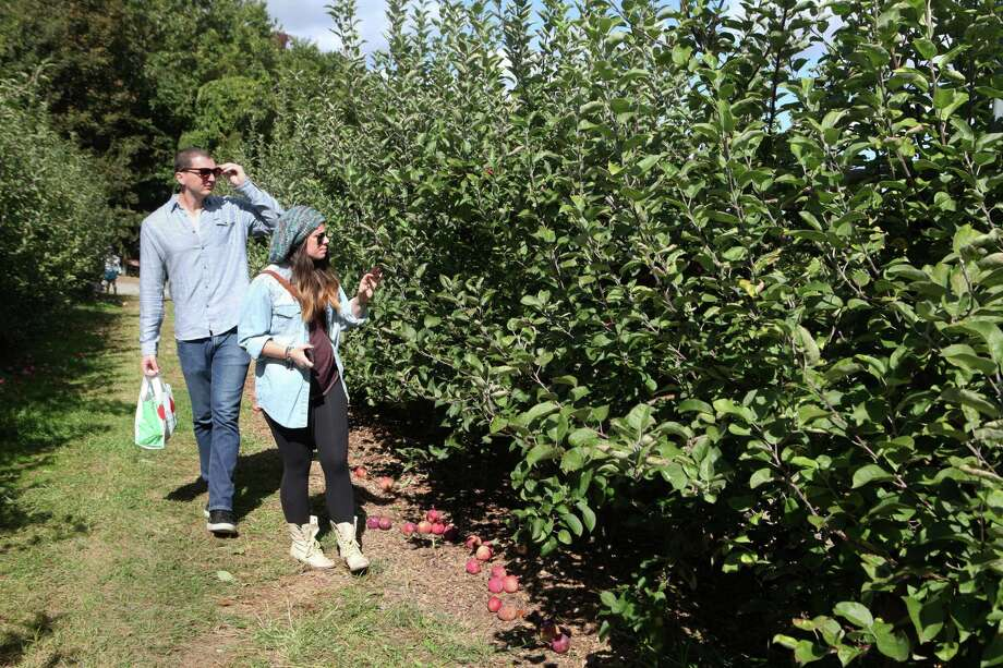Nick Proto, of LI, and Rachel McGill, of NYC, search for the perfect apple at Silverman's Farm in Easton, Conn. on Sunday, Sept. 29, 2013. Photo: BK Angeletti, B.K. Angeletti / Connecticut Post freelance B.K. Angeletti