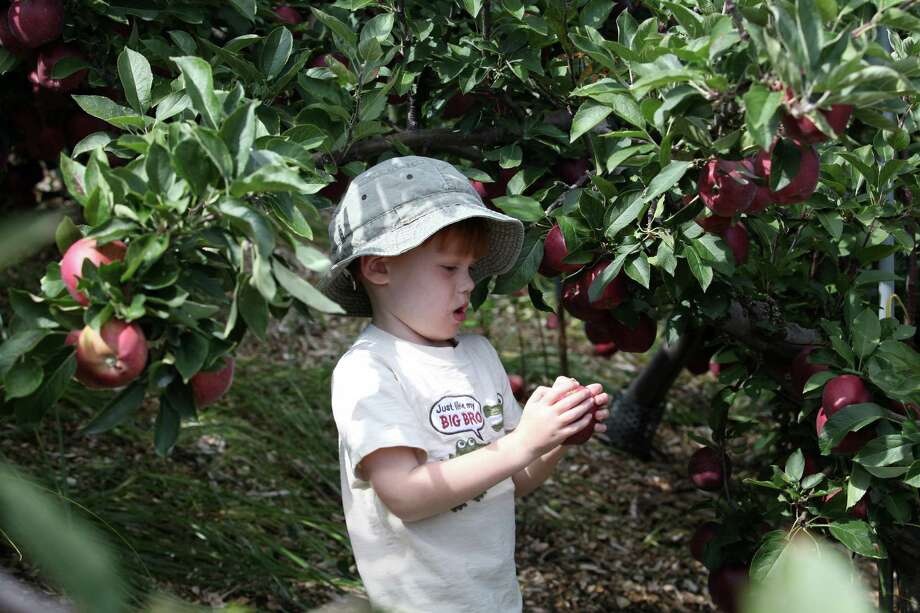 Ryan Jacobson, 4, of Southport, picks an apple at Silverman's Farm in Easton, Conn. on Sunday, Sept. 29, 2013. Photo: BK Angeletti, B.K. Angeletti / Connecticut Post freelance B.K. Angeletti