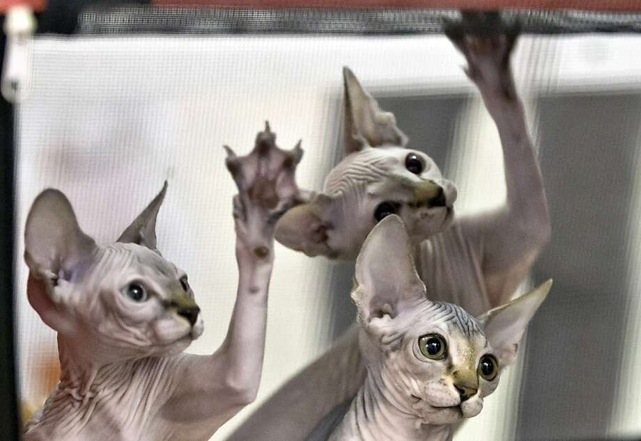 In this Sept. 28, 2013 photo, Sphynx kittens reach for a referee's toy while being evaluated during an international feline beauty show in Bucharest, Romania. Hundreds of felines from several countries take part in the two-day beauty contest in the Romanian capital. (AP Photo/Vadim Ghirda) Photo: Vadim Ghirda, Associated Press
