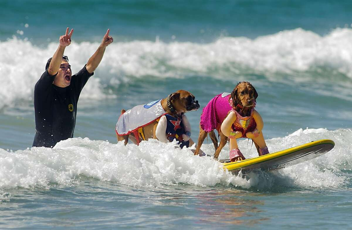 Tandem dog surfing competitor Hanzo, center, catches a wave with Kalani as helper Bill Davis cheers them on during the 5th annual Surf City Surf Dog in Huntington Beach, Sunday, Sept. 29, 2013. Fifty-two canines competed benefiting 6 charities. (AP Photo/The Orange County Register, Eugene Garcia)