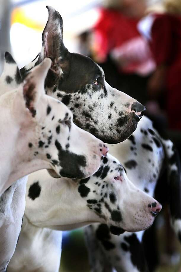 Great Danes, Komee, from left, Kleiquot and Kornish wait for their turn to be judged Sunday, Sept. 29, 2013 at the Old Dominion Kennel Club of Northern Virginia dog show at Historic Long Branch in Millwood, Va. (AP Photo/The Winchester Star, Scott Mason) Photo: Scott Mason, Associated Press