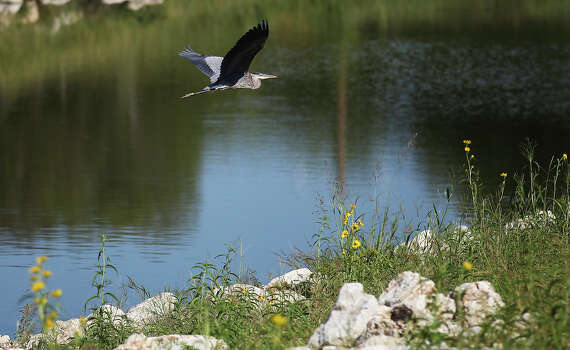 A blue heron takes flight along the a portion of the eight-mile Mission Reach of the San Antonio River on Wednesday, Sept. 25, 2013. Photo: Kin Man Hui, San Antonio Express-News / ©2013 San Antonio Express-News