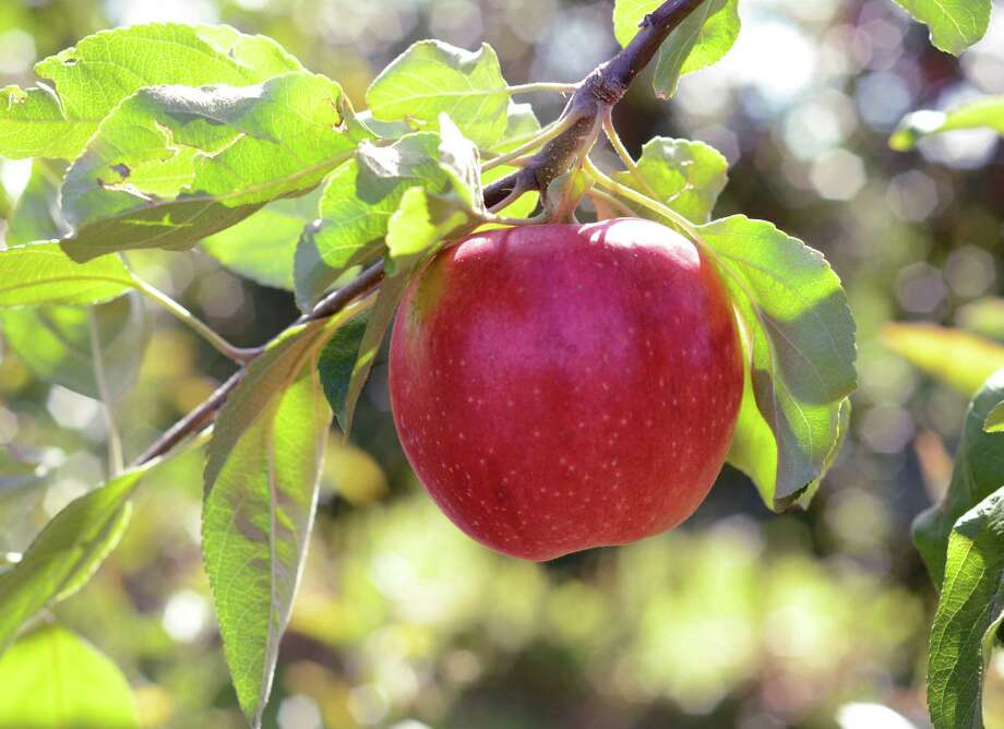 A new apple variety that is part of the Cornell University apple breeding program, hangs on a branch at the university's Fruit and Vegetable Research Farm in Geneva, N.Y., Monday, Sept. 23, 2013. (AP Photo/Heather Ainsworth)   ORG XMIT: NYHA204 Photo: Heather Ainsworth, AP / FR120665 AP