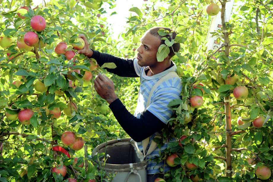 Aaron Green picks new varieties of apple at the Cornell University Fruit and Vegetable Research Farm in Geneva, N.Y., Monday, Sept. 23, 2013. (AP Photo/Heather Ainsworth)   ORG XMIT: NYHA207 Photo: Heather Ainsworth, AP / FR120665 AP