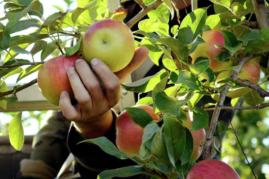 An apple picker picks new varieties of apple at the Cornell University Fruit and Vegetable Research Farm in Geneva, N.Y., Monday, Sept. 23, 2013. (AP Photo/Heather Ainsworth)   ORG XMIT: NYHA209 Photo: Heather Ainsworth, AP / FR120665 AP