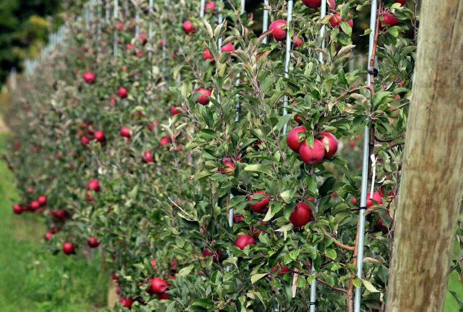 A new apple variety grows on a trellis at the Cornell University Fruit and Vegetable Research Farm in Geneva, N.Y., Monday, Sept. 23, 2013. (AP Photo/Heather Ainsworth)   ORG XMIT: NYHA215 Photo: Heather Ainsworth, AP / FR120665 AP