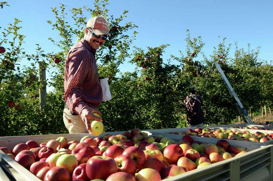 Cornell University Research Support Specialist, Leo Dominguez, right, inspects a new apple variety from a freshly picked bin at the Cornell University Fruit and Vegetable Research Farm in Geneva, N.Y., Monday, Sept. 23, 2013. At left is apple picker, Aaron Green. (AP Photo/Heather Ainsworth)    ORG XMIT: NYHA218 Photo: Heather Ainsworth, AP / FR120665 AP