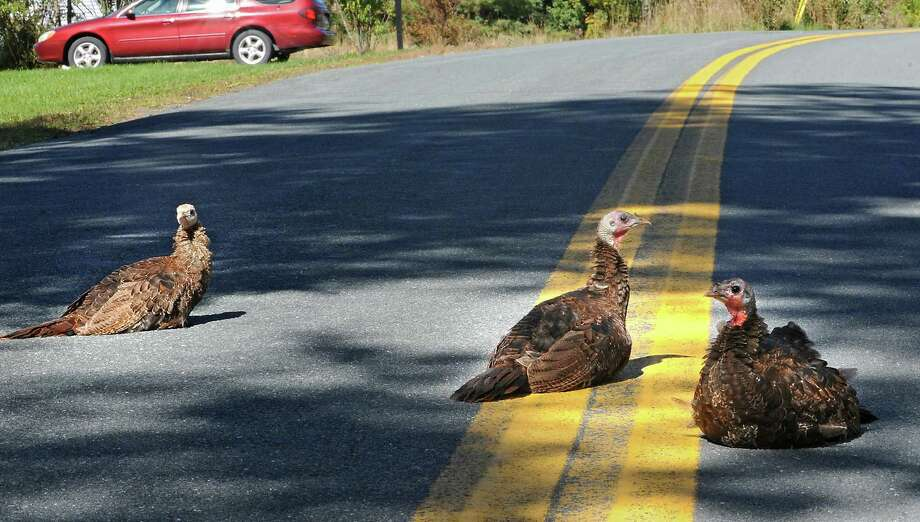 Wild turkeys sit in the middle of Forest Lake road Wednesday afternoon, Sept. 25, 2013, in Grafton, N.Y. (Lori Van Buren / Times Union) Photo: Lori Van Buren, Albany Times Union