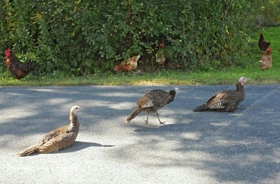 Wild turkeys and chickens are seen on Forest Lake road Wednesday afternoon, Sept. 25, 2013, in Grafton, N.Y. (Lori Van Buren / Times Union) Photo: Lori Van Buren, Albany Times Union