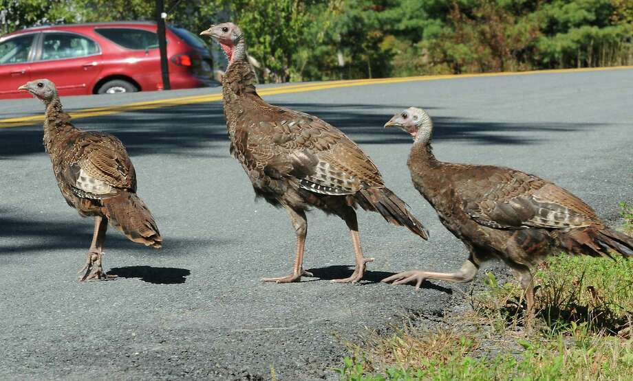 Wild turkeys cross Forest Lake road Wednesday afternoon, Sept. 25, 2013, in Grafton, N.Y. (Lori Van Buren / Times Union) Photo: Lori Van Buren, Albany Times Union