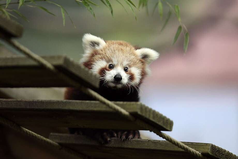 Bridge inspector: Only 3 months old, this baby red panda is understandably hesitant to negotiate a rope span at the Cerza Zoo in Hermival-les-Vaux, France. Photo: Charly Triballeau, AFP/Getty Images