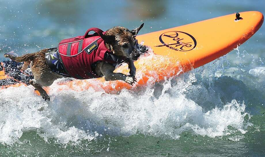 Abandon ship! When the white water gets too gnarly, the wise surfer bails. (Fifth Annual Surf Dog competition in Huntington Beach.) Photo: Frederic J. Brown, AFP/Getty Images