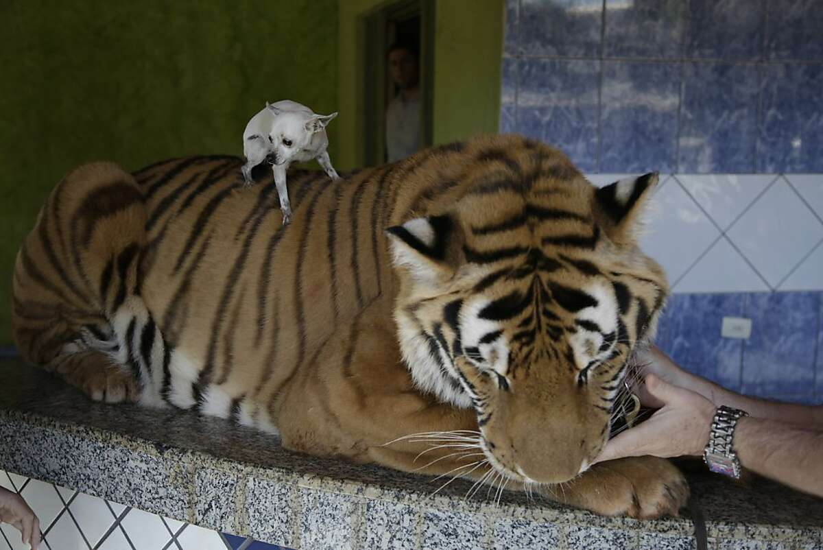 Well, I guess I showed this cat who's boss: Little the Chihuahua rides the back of Tom, a very tolerant tiger who enjoys chin rubs. Tom is one of nine tigers owned by the Borges family in Maringa, Brazil. Wildlife officials are trying to seize the cats on the grounds that they were illegally bred.