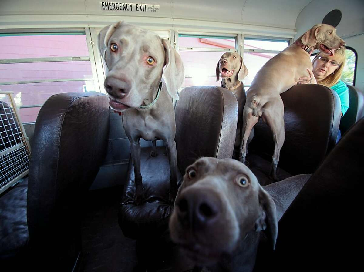 Gray hound bus: Brenda and Kyle Manning of Pierre, S.D., just got this bus in order to drive their many rescued Weimaraners. The Mannings care for Weimaraners that have been abandoned or mistreated by previous owners. The breed is popular among hunters, so the dogs are fairly common in the area.