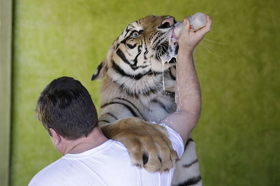 When is it time to stop bottle-feeding your tiger?Maybe when his paw is bigger than an outfielder's mitt. While   no longer a cub, Dan still hasn't mastered drinking his milk yet. The tiger is one of several endangered animals   bred by Ary Borges in Maringa, Brazil. Borges is battling federal wildlife officials who want to take the cat away   from him. Photo: Renata Brito, Associated Press