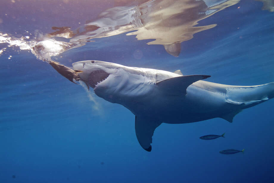 """Great White Shark"" opens at the IMAX Theatre at the Maritime Aquarium at Norwalk on Friday, Oct. 11. The film unravels the mystery of the creature we love to fear in telling the true story of its role atop the oceanic food chain. Photo: Contributed Photo / Connecticut Post Contributed"