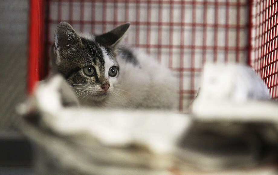 A kitten waits at the city's Animal Care Services. Starting Tuesday, the county handles animal services outside S.A. Photo: File Photo