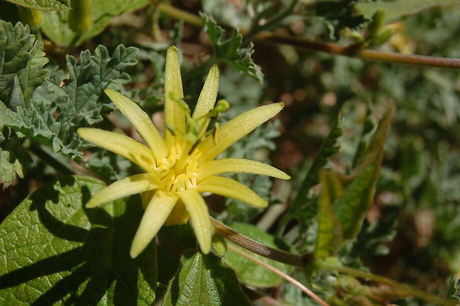 Passiflora citrine attracts hummingbirds and butterflies with petite flowers (to 1 1/2 inches) that are canary yellow from start to finish. The Guatemala native is a vigorous grower in full sun to light shade. Photo: Erle Nickel