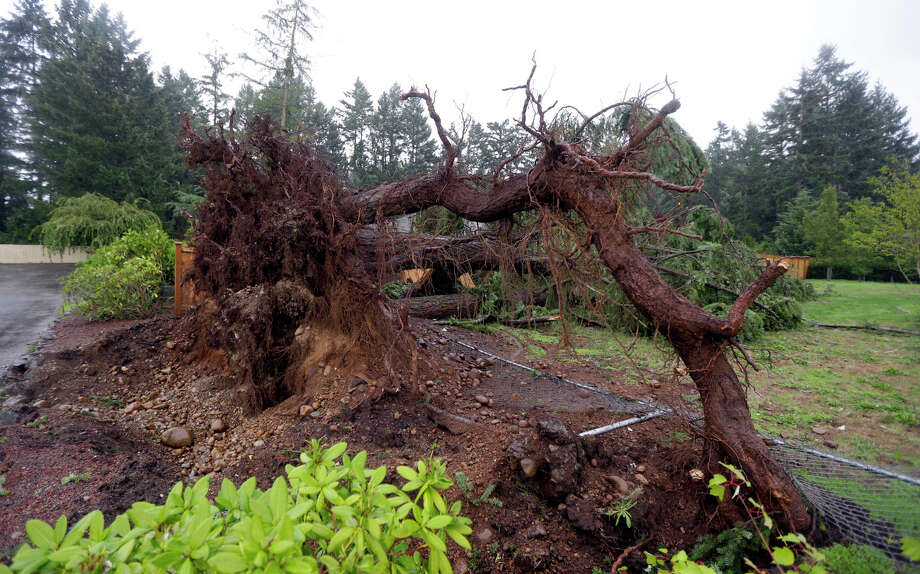 An uprooted trees that fell when a tornado hit earlier in the day are shown Monday, Sept. 30, 2013 in the Frederickson neighborhood near Puyallup, Wash. Several dozen homes were damaged in the storm. Photo: Ted S. Warren, Associated Press / Associated Press