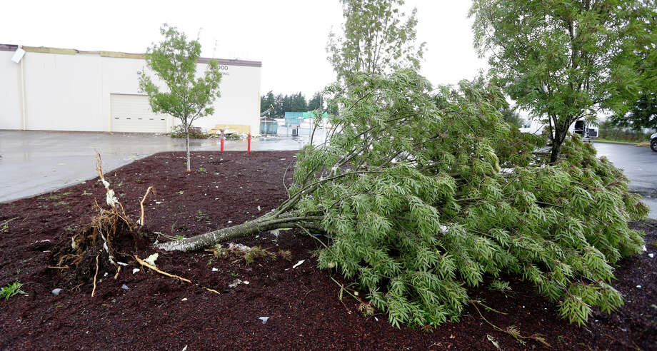 An uprooted tree lies on the ground at Northwest Door in Puyallup, Wash., Monday, Sept. 30, 2013. The building was damaged when a tornado moved through the area earlier in the day. Photo: Ted S. Warren, Associated Press / Associated Press