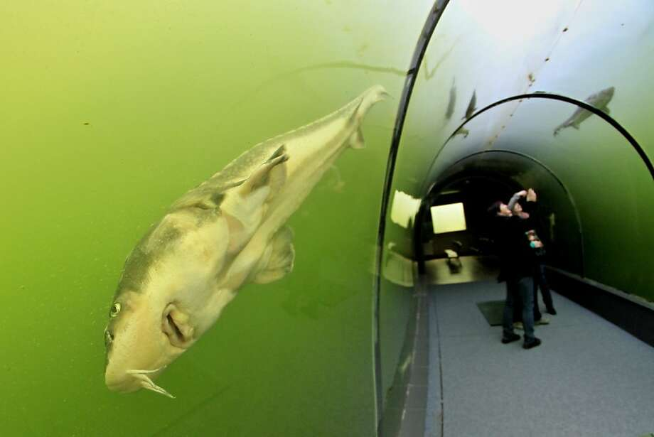 Visitors look at the fish through the transparent walls of a tunnel in a lake in Madra, 70 km southeast from Brno, South Moravia, Czech Republic on September 30, 2013. The tunnel, which is located at a depth of three meters, measuring eight meters in length from which one can observe sturgeon, carp, catfish, perch, tench, eell and trout.