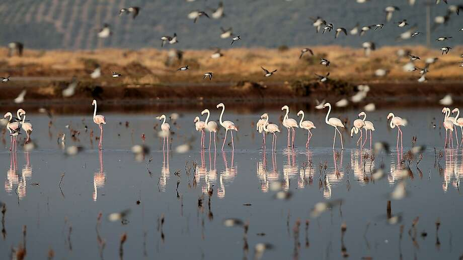 Flamingos stand in a lagoon near Messolongi, in western Greece, on Monday, Sept. 30, 2013. The lagoon is part of protected wetlands, that also includes marshes and ponds. The migratory flamingoes use the lagoon and salt evaporation ponds of Messolongi during the summer months before moving further south for the winter. (AP Photo/Dimitri Messinis) Photo: Dimitri Messinis, Associated Press