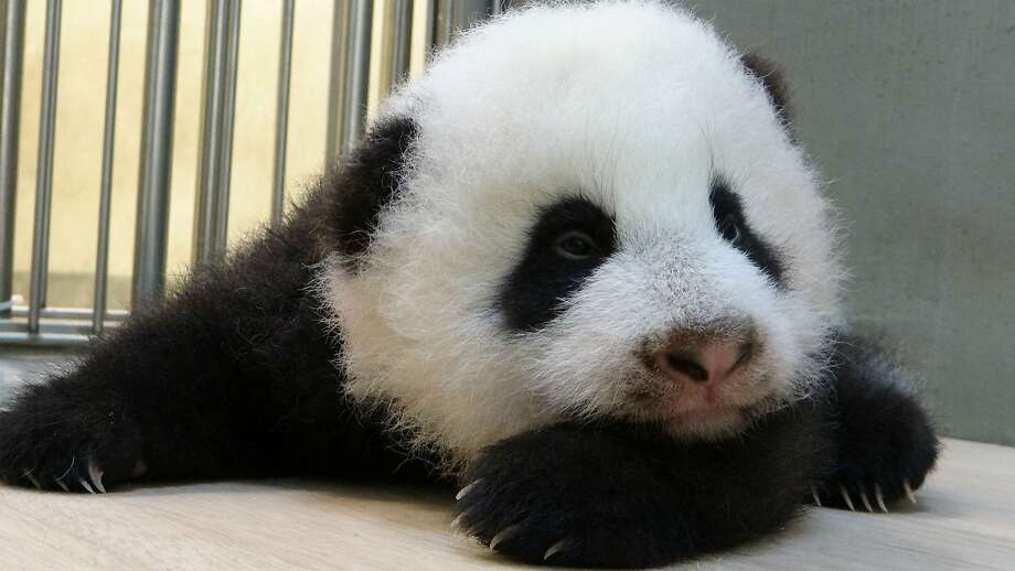 Someone needs to cheer up this baby panda ASAP:Arms folded, moody, pensive. Snap out of your funk, little Yuan Zai! (Taipei City Zoo.) Photo: Taipei City Zoo, AFP/Getty Images