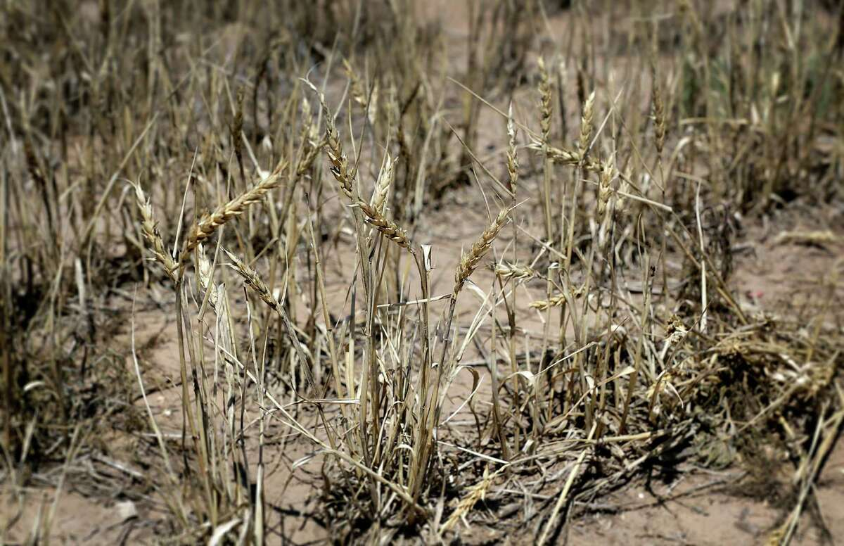 Dried wheat stands in a field just outside Dumas.