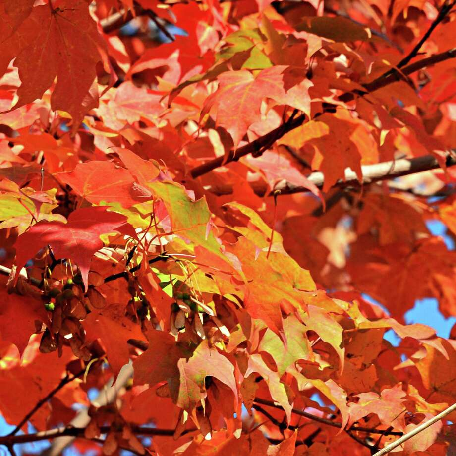 Maple leaves turning red on a tree along Shaker Road Tuesday Oct. 1, 2013, in Albany, NY.  (John Carl D'Annibale / Times Union) Photo: John Carl D'Annibale / 00024076A