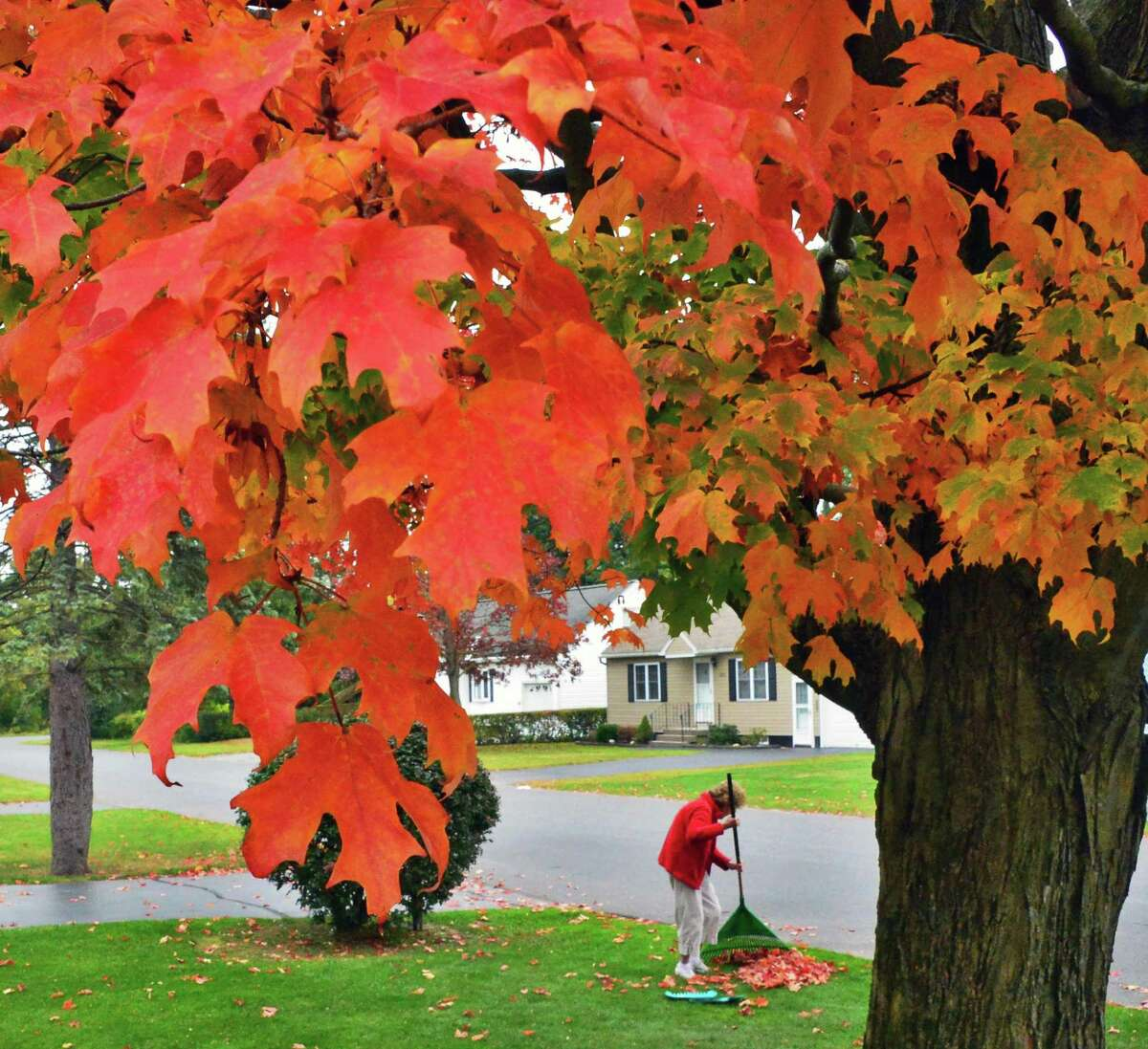 Joan Thuotte rakes leaves under a sugar maple in her front yard Wednesday Oct. 2, 2013, in Rotterdam, NY. (John Carl D'Annibale / Times Union)