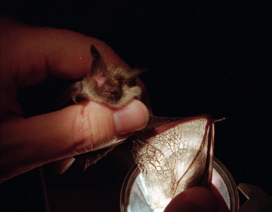 A northern long-eared bat is shown in this archive photo. (Associated Press Photo/John S. Zeedick) Photo: JOHN S. ZEEDICK / AP