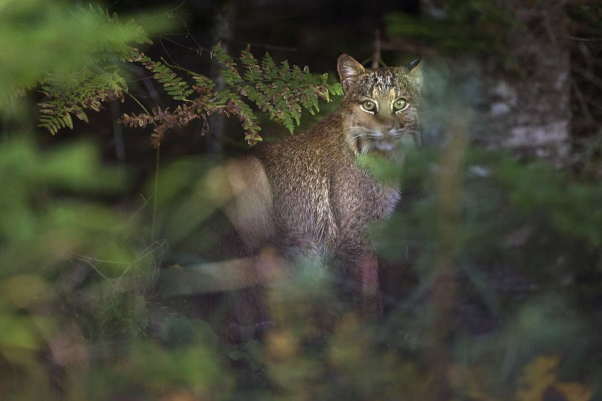 Hey! Trying to stalk here! In Baileyville, Maine, a bobcat has his rabbit hunting interrupted by a photographer.