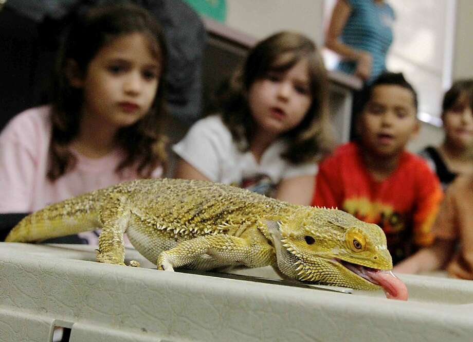 Lizard Lunchable: Second-graders watch a bearded dragon gulp a mealworm for a class on reptiles and amphibians at David Elementary in Woodlands, Texas. Photo: Jason Fochtman, Associated Press