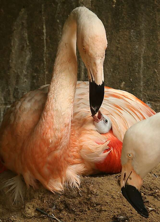 HIMEJI, JAPAN - OCTOBER 02:  A four-day-old Chilean flamingo chick feed by its father named Migi Aka as covered his wing at the Himeji Central Park on October 2, 2013 in Himeji, Japan. The baby flamingo was born on September 29 and will take up to two or three years to fully develop the pink feathers of mature adults.  (Photo by Buddhika Weerasinghe/Getty Images)  *** BESTPIX *** Photo: Buddhika Weerasinghe, Getty Images