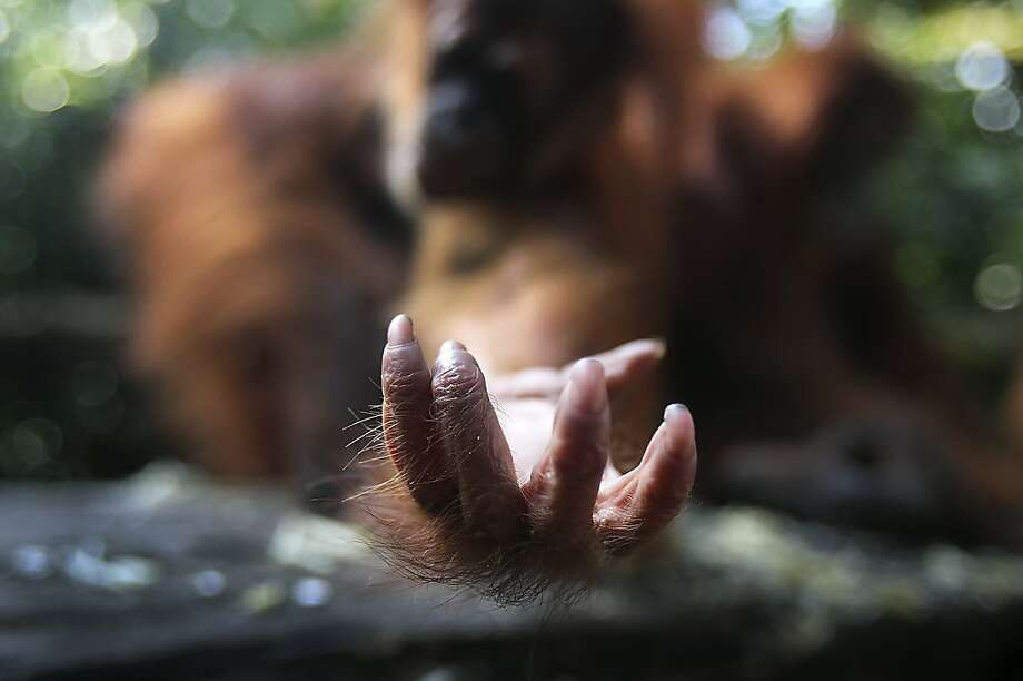 Anything you can spare:A baby Bornean orangutan reaches for a handout of something edible at the Singapore Zoo. Photo: Wong Maye-E, Associated Press