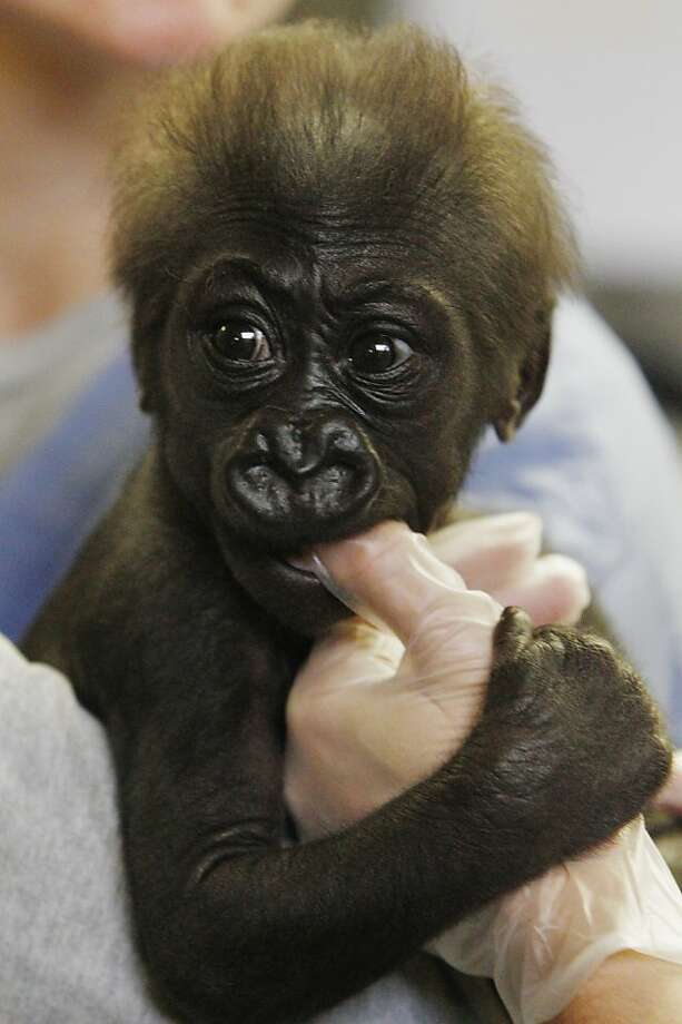 The docs who keep zoo's baby gorilla in the pink